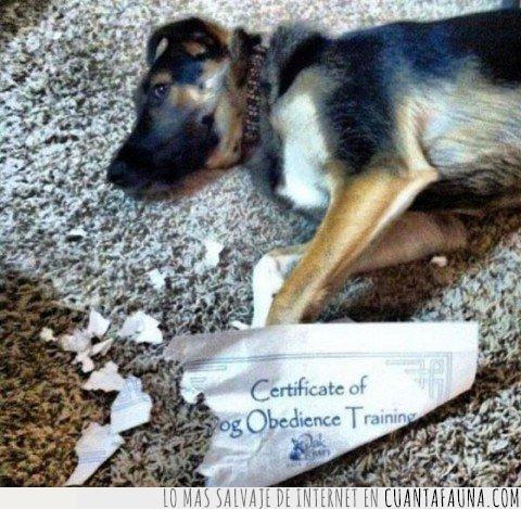 certificado,muy obediente sí...,obediencia,papeles,perros