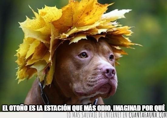 corona,hojas secas,otoño,perro,pitbull
