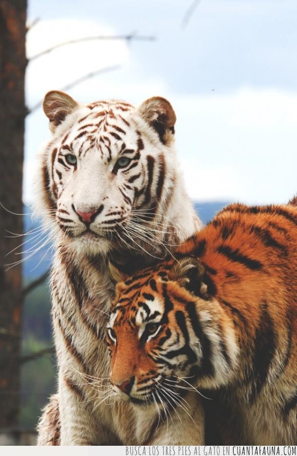 belleza,felinos,naturaleza,perfección,perfecto,preciosidad,Tigres
