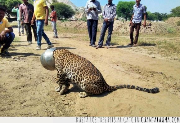 a ver quien se lo quita ahora,cabeza,felino,gato,grande,guepardo,jarra,leopardo,meter