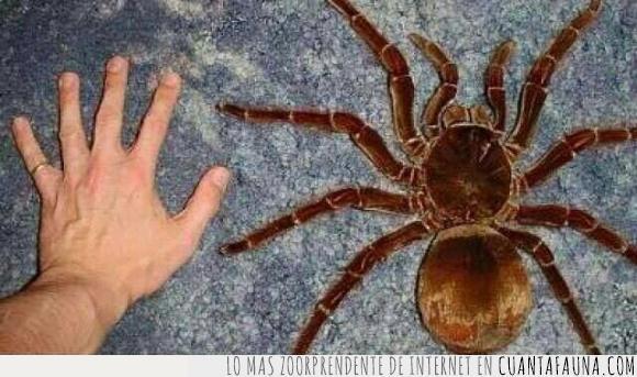 araña,Australia,gigante,Goliath,miedaco,no venenosa,tamaño,Tarántulas