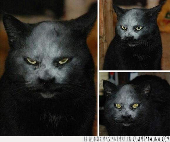blanco,cara,criatura,demonio,gato,harina,mancha,miedo,negro