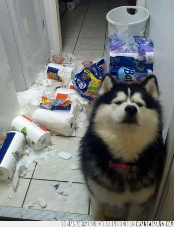 basura,destrozar,husky,papel,perro,problema,rollo,romper