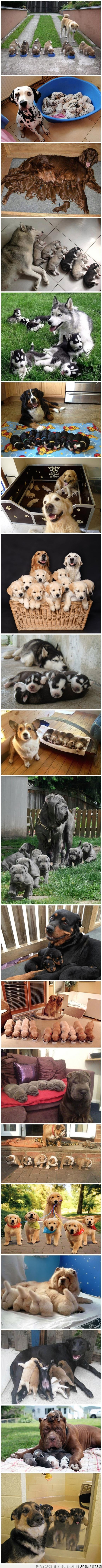 amor,cachorros,camada,familia,madre,orgullo,orgulloso,padre,perros