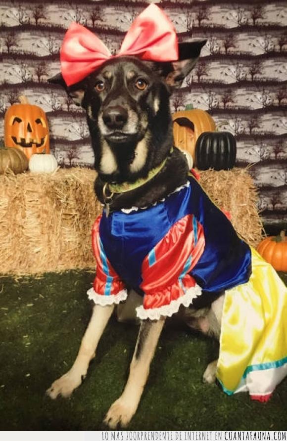 Blancanieves,disfraz,Halloween,literalmente,perra,perro,vestida,vestir