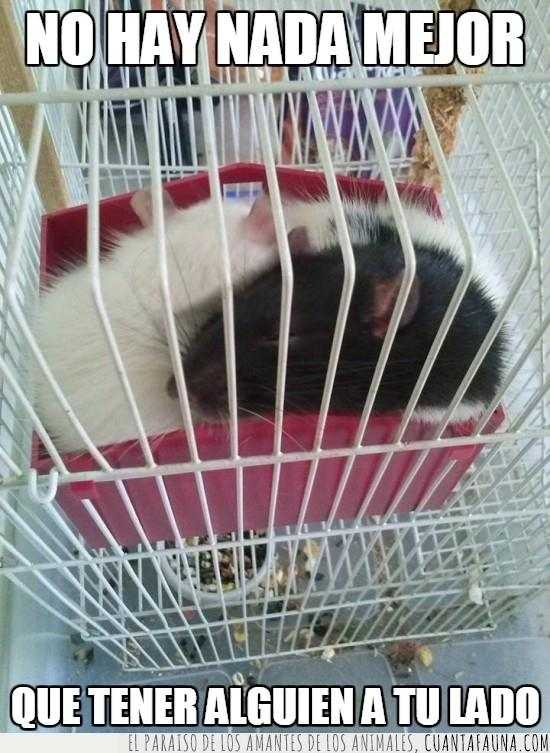 amor,apretujados,caseta,dormir,ratas,ratones