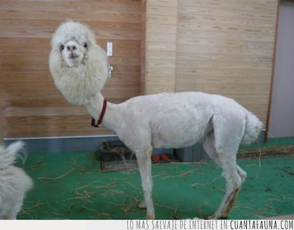 alpaca,cabeza,dejar,esquilar,llama,parece una oveja,pelar,rapar