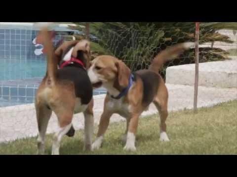 33932 - Beagles de laboratorio ven la luz de la libertad por primera vez