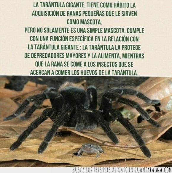 la unión hace la fuerza,mascota,rana,tarantula,ya lo he visto todo