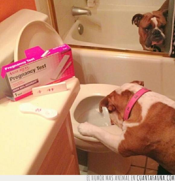 bulldog,embarazo,pareja,perra,perro,predictor,vomitar