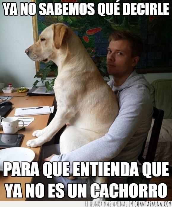 cachorra,cachorrita,cachorrito,cachorro,grande,labrador,perra,perro