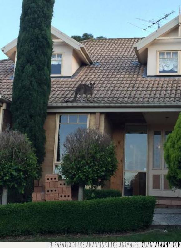 australia,canguro,casa,mientras,tejado