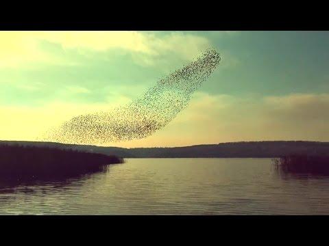 34536 - Bandada de pájaros que más volar, danzan en el aire