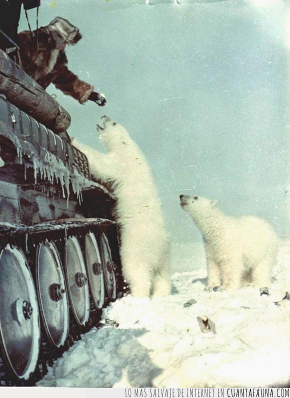Oso,rusia,segunda guerra mundial,siberia,tanque