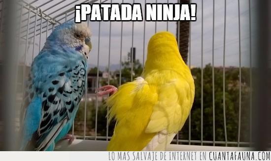 canario,ninja,patada,periquito