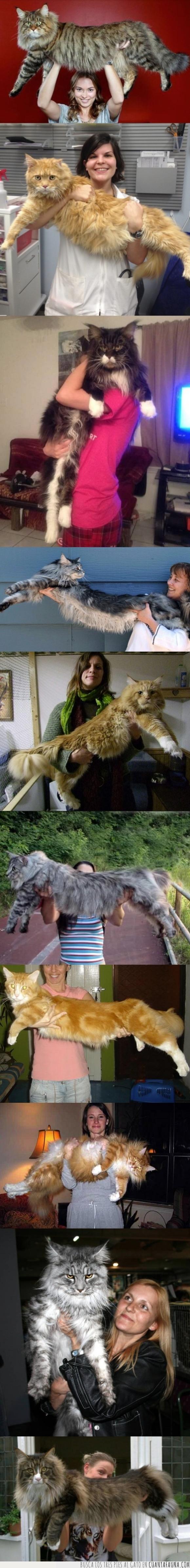 gato,gigante,grande,Maine coon,tamaño