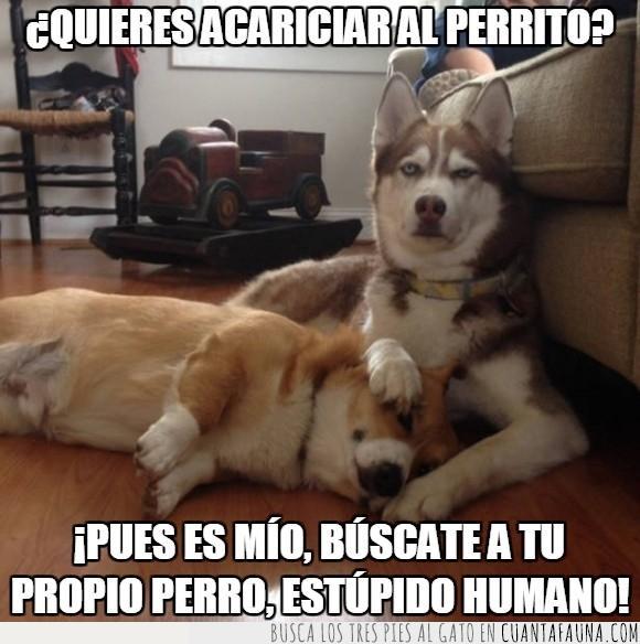 chungo,corgi,husky,insultar,mirar,perro,proteger,tapar