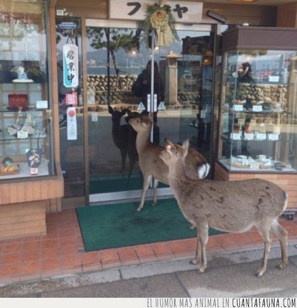 ciervo,Japón,Margaret,Miyajima,tienda
