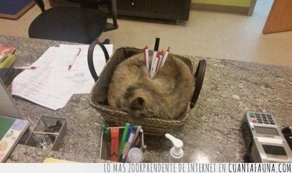 bolígrafos,cesta,dormido,dormir,escritorio,gato,guardar,mesa,oficina