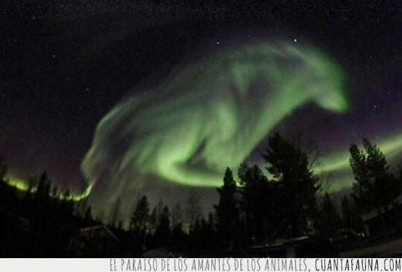 aurora boreal,cielo,lobo,Pajala,Suecia