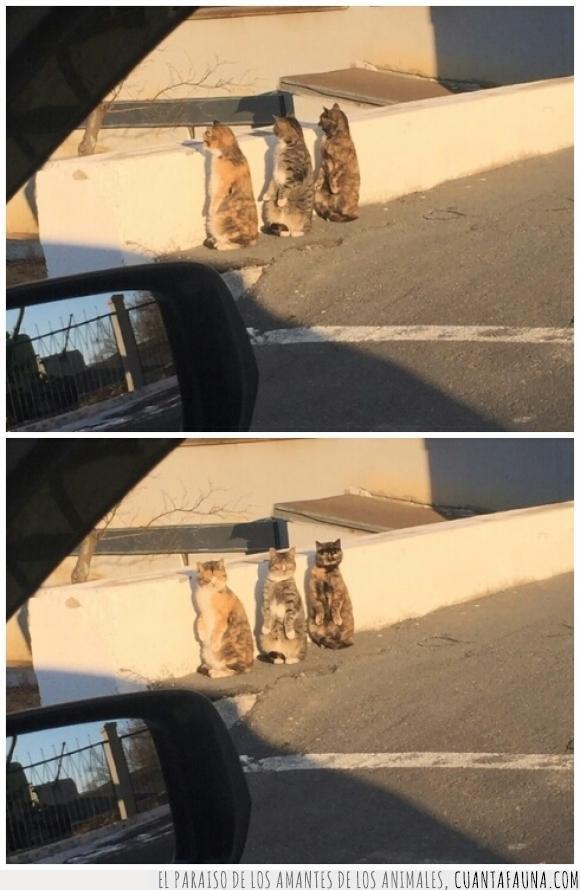 cotillear,felinos,gatos,grupo,mirar,pillar,suricatas