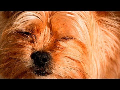 35920 - Estos perritos dejándose caer dormidos son el mejor remedio para que te entre sueño a ti también