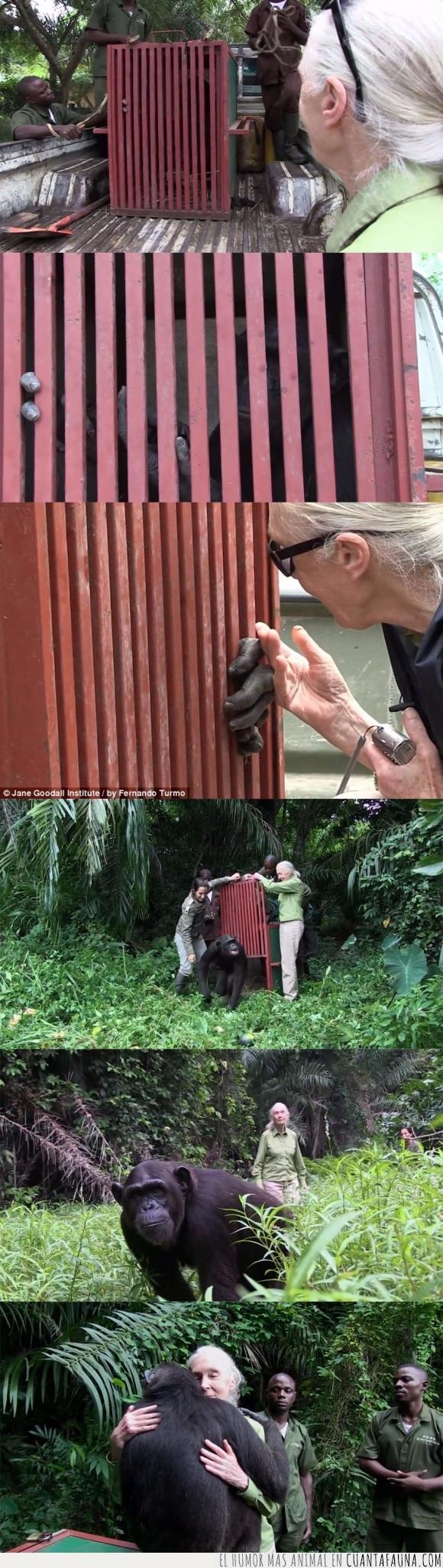 abrazar,abrazo,agradecer,chimpance,gracias,Jane Goodall,mono,simio