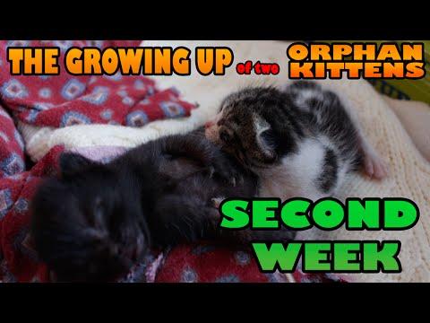 36456 - Gatitos creciendo en su segunda semana. ¡Es momento de abrir los ojos!