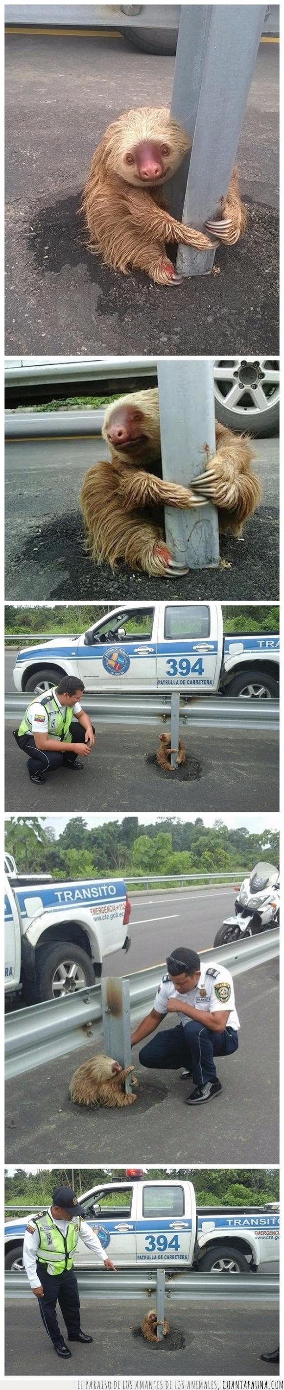ayudar,bebe,carretera,cria,Ecuador,medio,oso,pequeño,perezoso,policía,salvar,susto