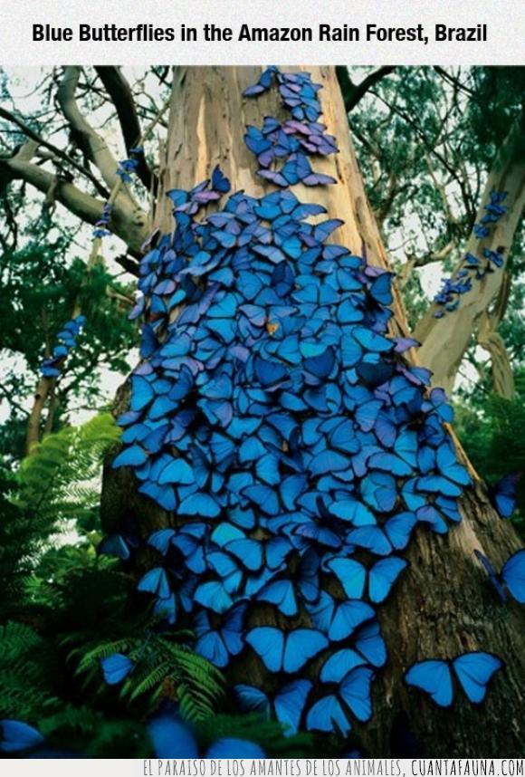 amazonas,azules,bosque,Brasil,mariposas