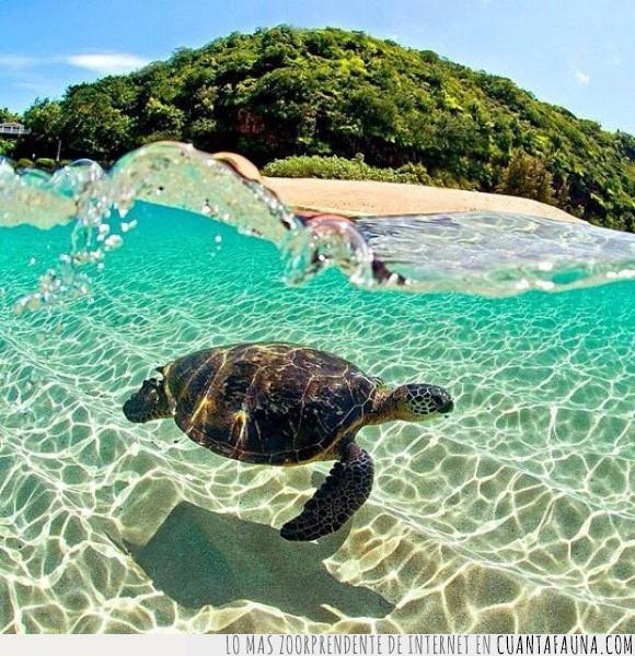 Clark Little,foto,hawaii,isla,Lanikai,playa,tortuga
