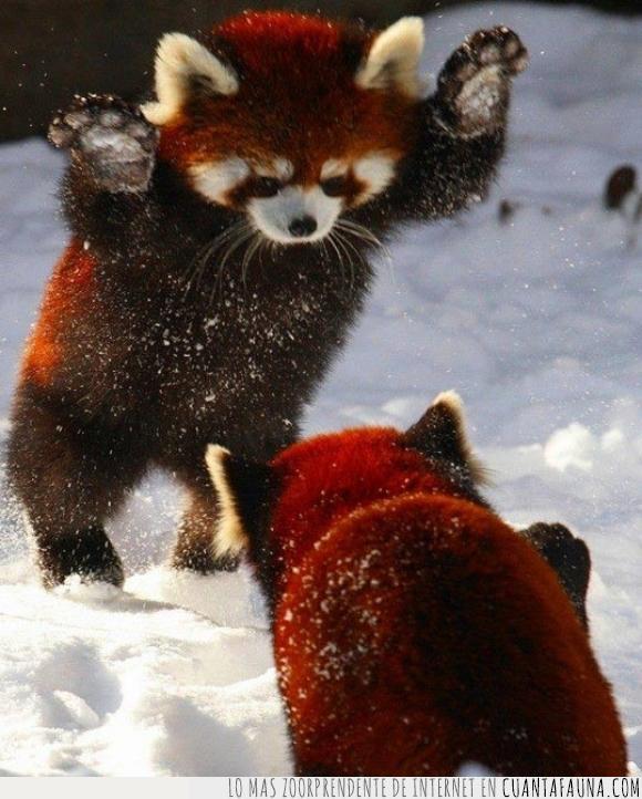 adorables,dos,jugar,nieve,panda rojo