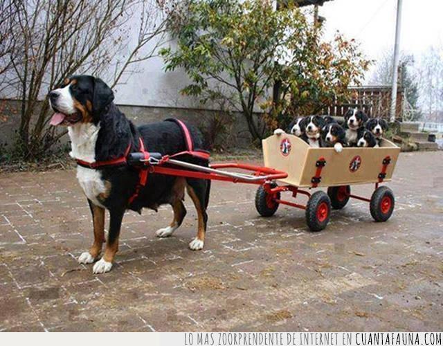 cachorros,camada,hermoso,madre,maternidad,pasear,paseo,perrita,responsable