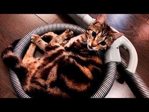 37119 - A estos gatos les encanta pasar la aspiradora por encima suyo