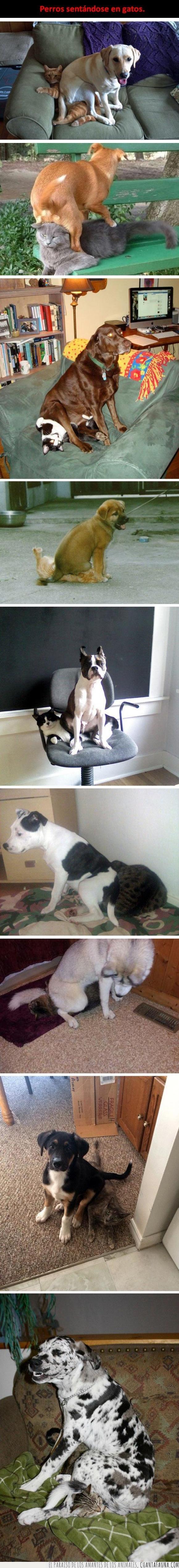 cojín,encima,gato,gatos,genial,perro,sentar,silla