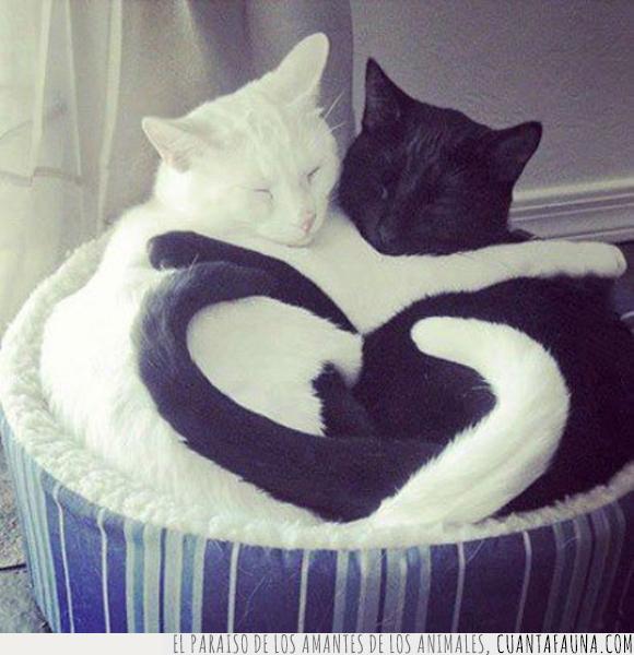 blanco,cola,corazon,forma,gato,genial,negro