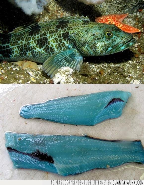 azul,carne,genial,lingcod,pez,raro,turueza