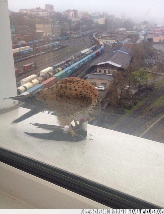 cadena alimenticia,caza,comer,halcón,paloma,ventana