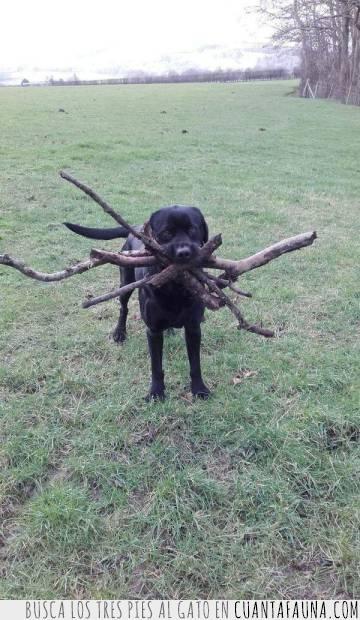 buscar,juego,lanzar,palo,perro