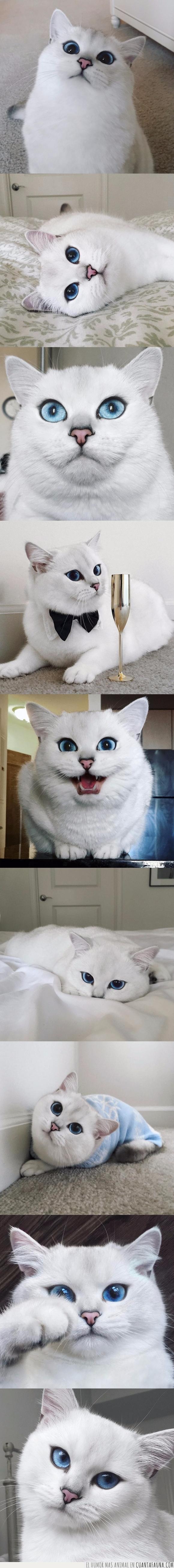 azules,blanco,Coby,gato,ojos
