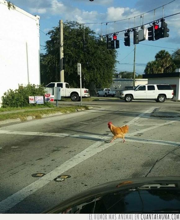 calle,carretera,chiste,cruzar,gallina,genial,motivo,preguntar