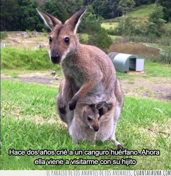 barriga,canguro,cria,criar,hijo,huerfano,marsupial,visitar,wallaby