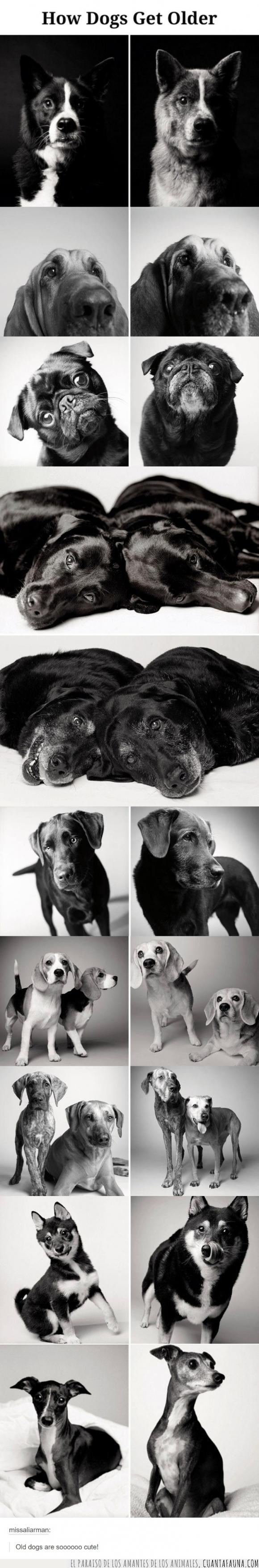 adulto,canas,crecer,edad,madurar,mayor,perrete,perro,viejo