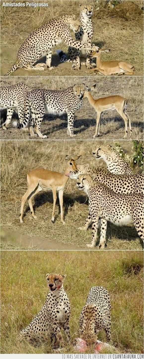 amistad,comer,comida,gacela,guepardo,jugar,leopardo,peligrosa