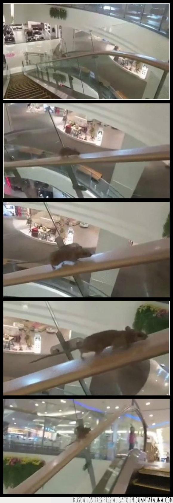 centro comercial,escalera,gym,mouse,rata