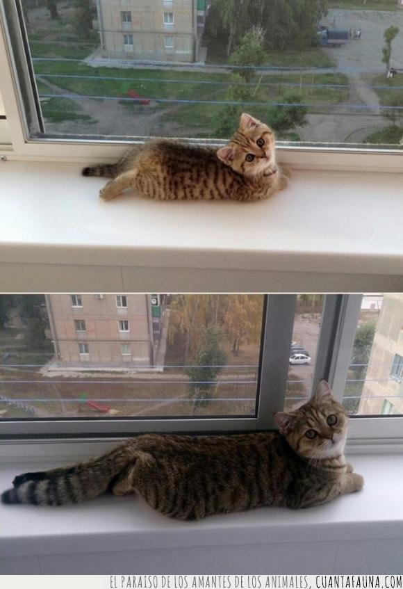 años,gato,igual,mirada,mono,pose,tumbado,ventana