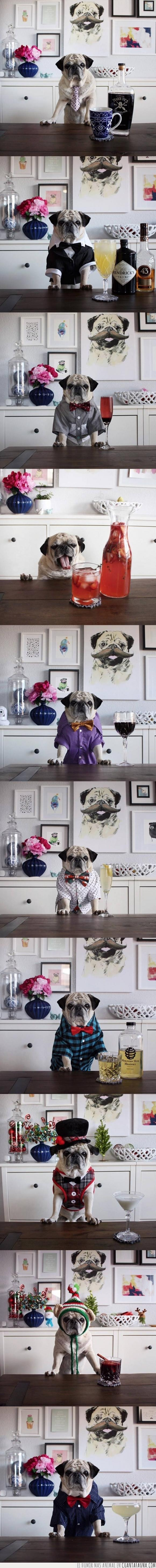 beber,bebida,cocktail,perro,pug,traje
