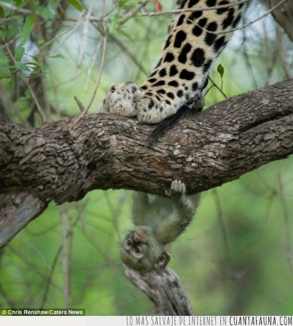 felino,leopardo,mamífero,mono,no respires,rama