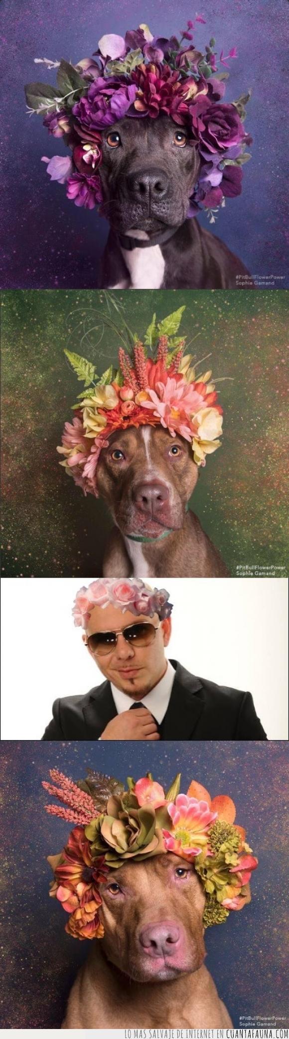 cantante,corona,flores,perro,pitbull