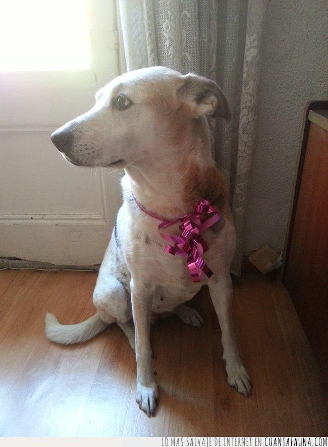cinta,collar,día,encima,fiesta,perro,rosa,salir,siguiente